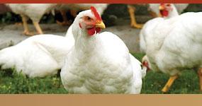 chickenhome